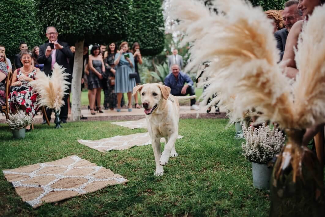 perro lleva los anillos